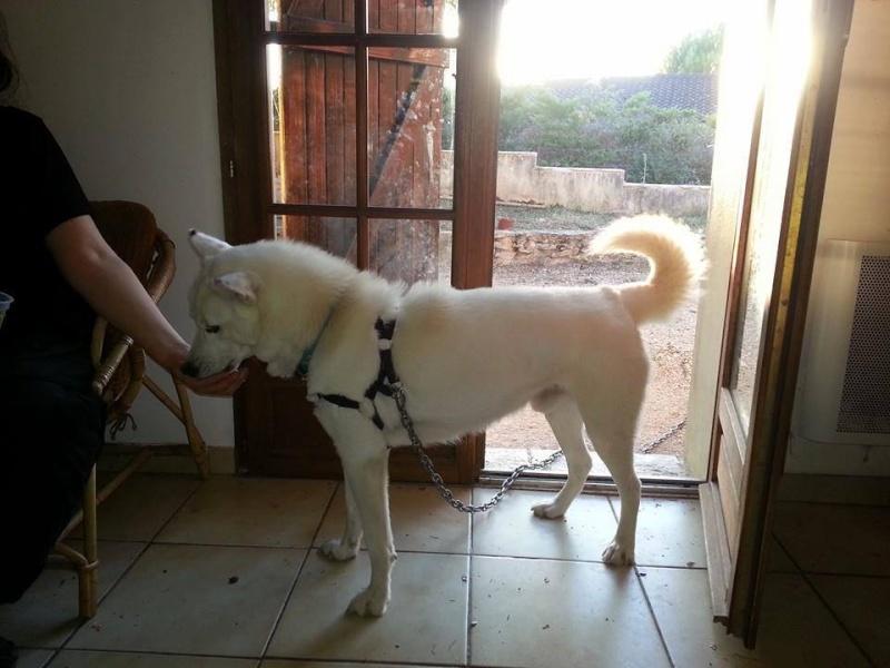 Balto type Husky ok chiens chats enfants ASSO46 ADOPTE 10372111