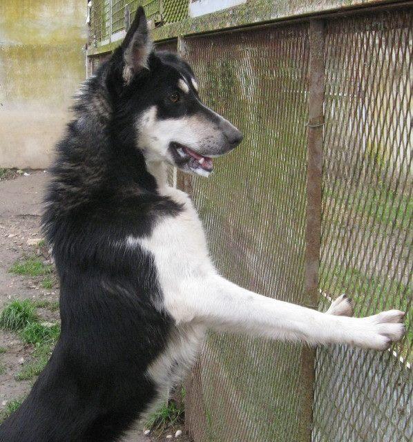 Wespa, Husky x Berger 4 ans (f) REFU82 Adopter 10372210