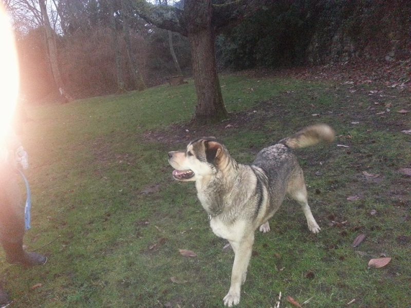 TYSON x husky  labrador né 11/2012/ sociable joueur équilibré  REF78 ADOPTER - Page 2 10382811