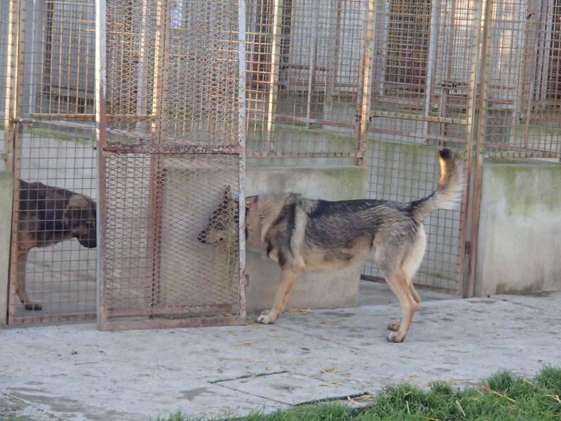 JACO type chien loup tchécoslovaque, né 22-02-2014, sociable REFU82   ADOPTER 10382910