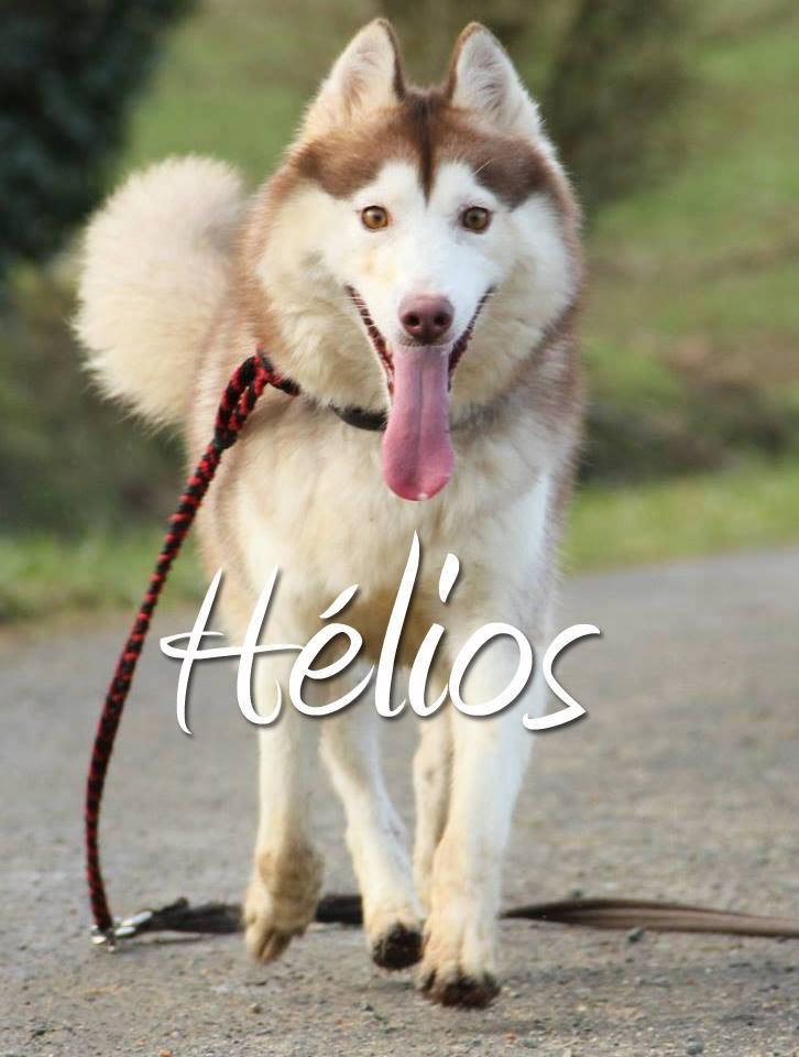 HELIOS husky (m) chocolat et blanc pas de chats REFU78 ADOPTER 10383810