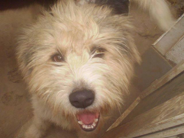 Laurel et hardy  Husky sibérien poil long, ok congénères pas de chats(m) ASSO ROUMANIE    - Page 2 10390110