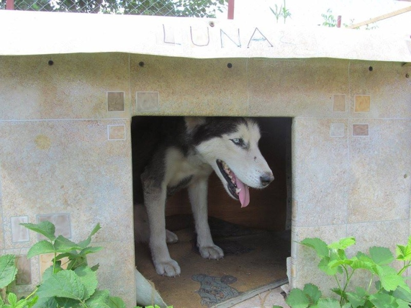 LUNA Husky 4/5 ANS pas ok chien URGENCE ROUMANIE  ADOPTEE 10468010