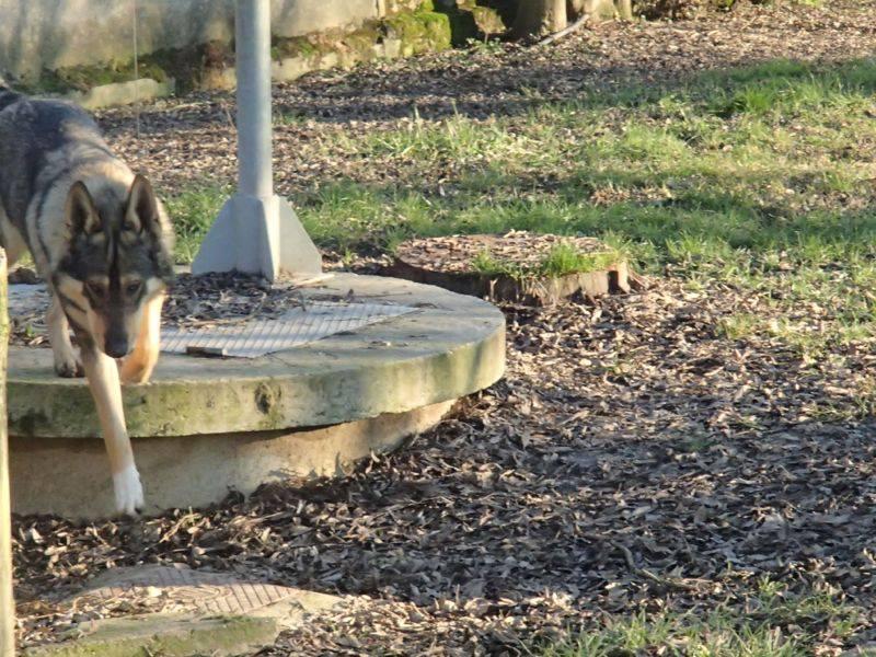 JACO type chien loup tchécoslovaque, né 22-02-2014, sociable REFU82   ADOPTER 10489810