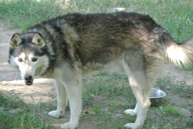 Theo husky 12 ans ok femelles pas de chats ASSO39 10501810