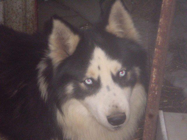Laurel et hardy  Husky sibérien poil long, ok congénères pas de chats(m) ASSO ROUMANIE    - Page 2 10610610