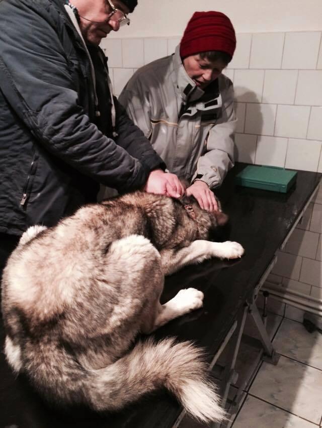 Grande urgence pour Blue et Jack qui ont besoin de votre aide en Roumanie  8 mois et 1 an   10620611