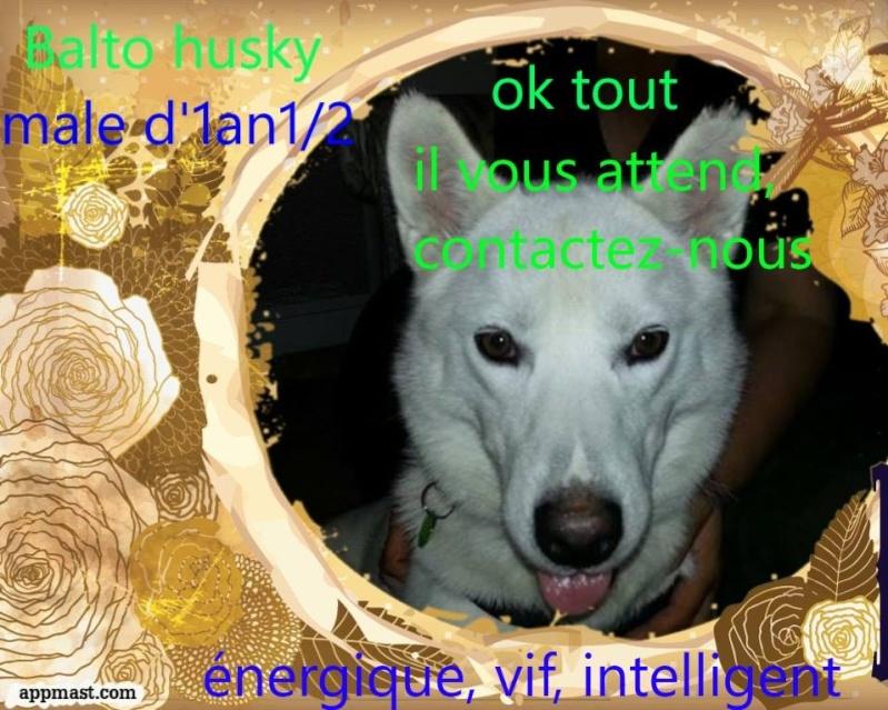 Balto type Husky ok chiens chats enfants ASSO46 ADOPTE 10622810