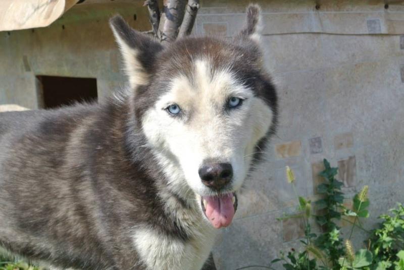 LUNA Husky 4/5 ANS pas ok chien URGENCE ROUMANIE  ADOPTEE 10710910