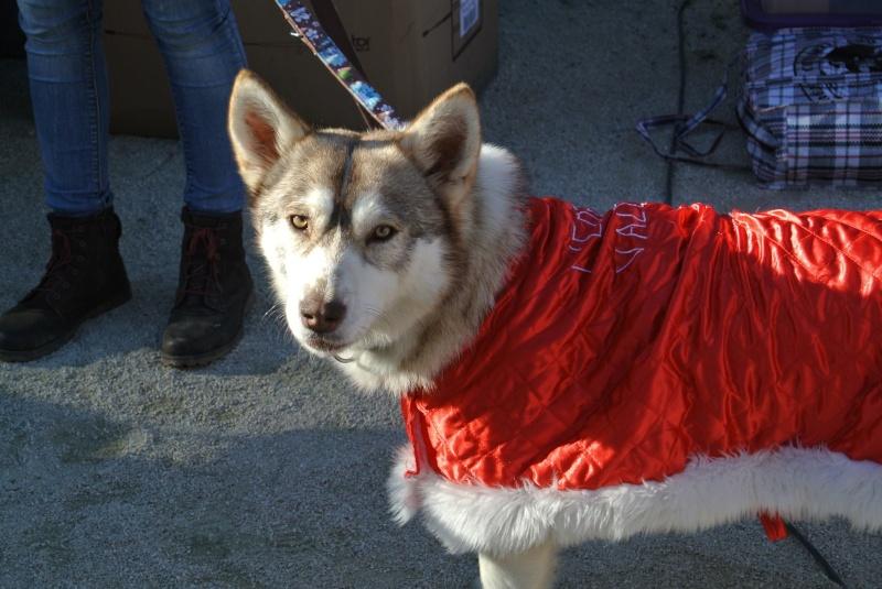 SHASTA, Husky (f) 2 ans sauvée de Roumanie ASSO26  ADOPTEE 10869410