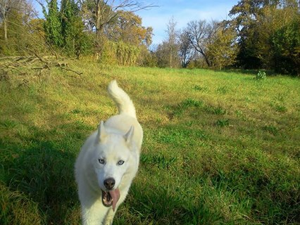 Droopy, Husky (m)8 ans chien asez actif REFU13  ADOPTE 10885310
