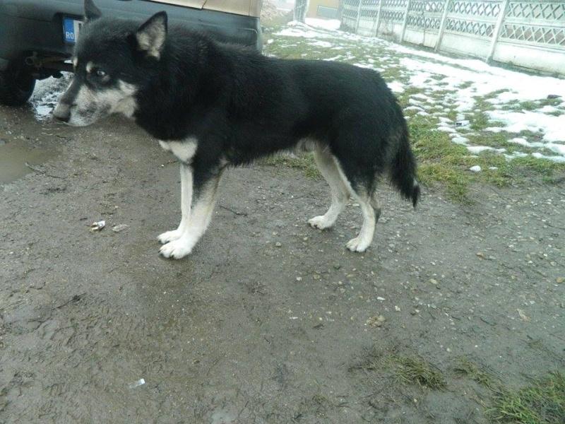 OURAL x  husky (m) 3 ans  ok congénères et chats ROUMANIE 10888310