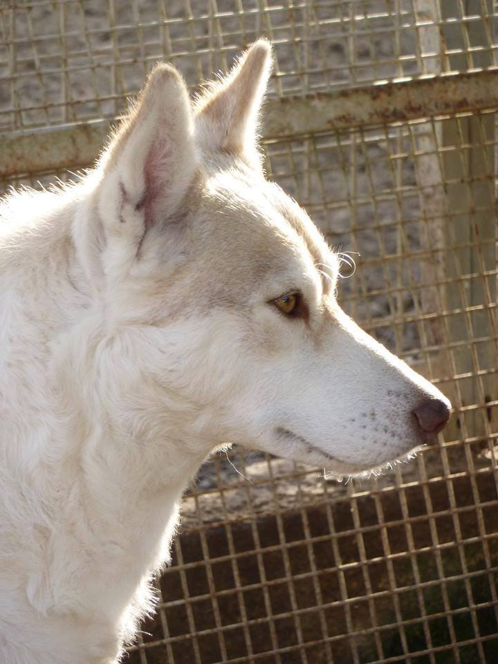 Google femelle husky 4 ans pas de chats ASSO Belgique  10897710
