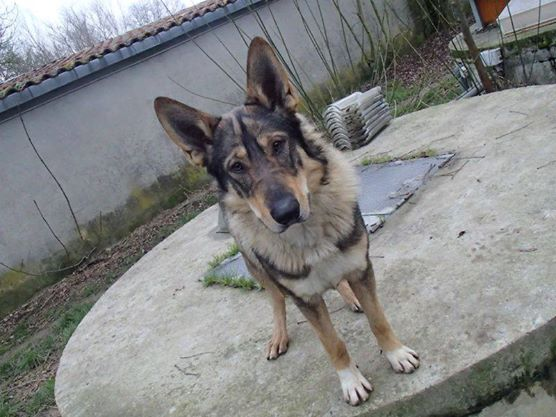JACO type chien loup tchécoslovaque, né 22-02-2014, sociable REFU82   ADOPTER 10898310