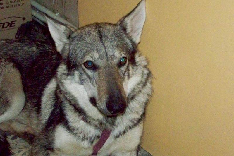 Vegas, chien- loup tchèque (f) 1 an ASSO31 ADOPTEE 10905910