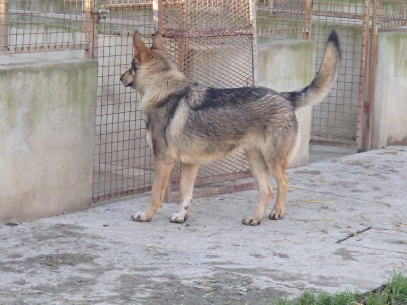 JACO type chien loup tchécoslovaque, né 22-02-2014, sociable REFU82   ADOPTER 10915110