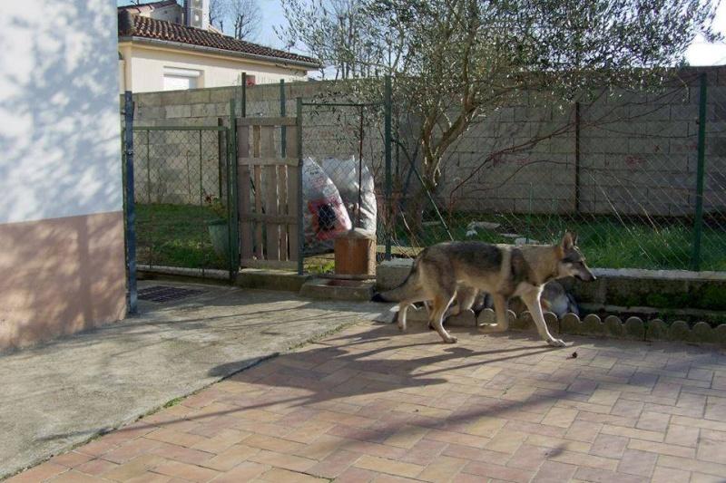 Vegas, chien- loup tchèque (f) 1 an ASSO31 ADOPTEE 10917810