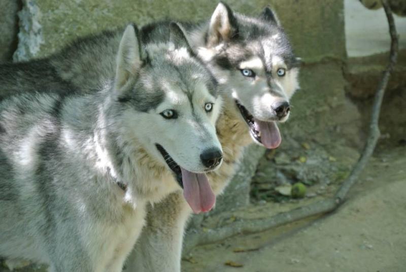 FLASH Husky (m) né le 19/11/2010 ok congénère  PAS DE CHATS ASSO39 - Page 2 10917811
