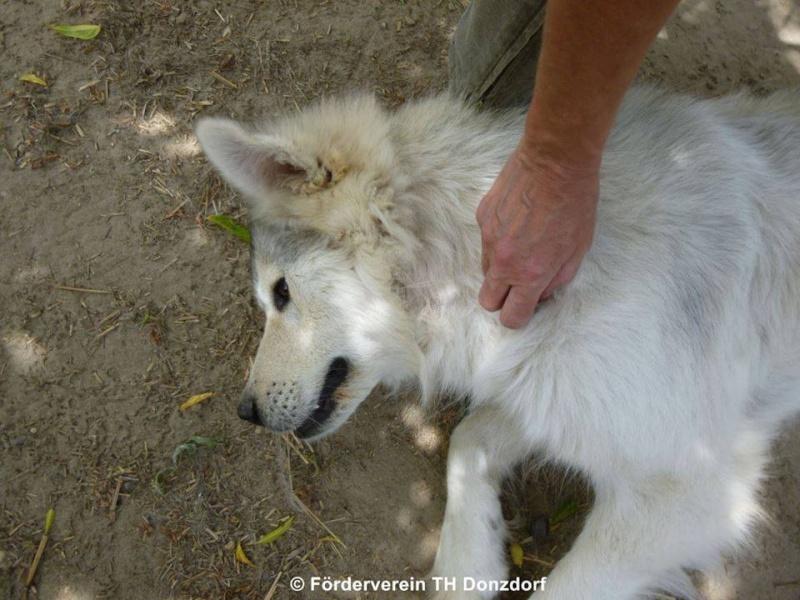 Fargas x malamute  2011/femelles ok males et chats non!( m )  HONGRIE 10919011