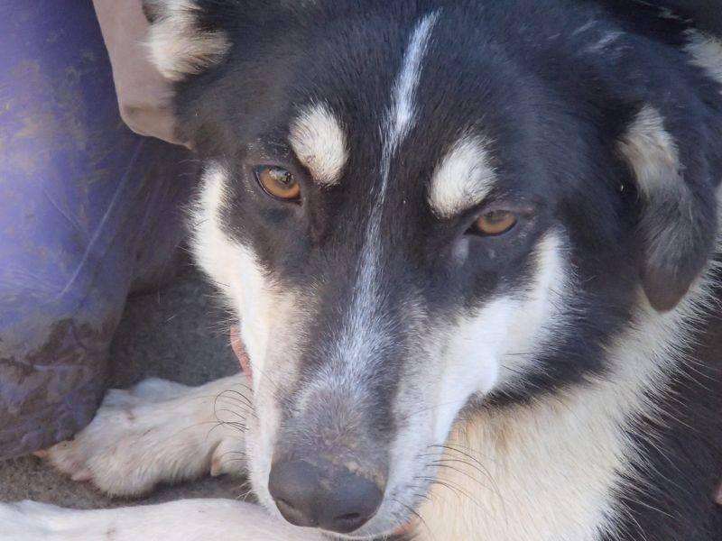Wespa, Husky x Berger 4 ans (f) REFU82 Adopter 10922811