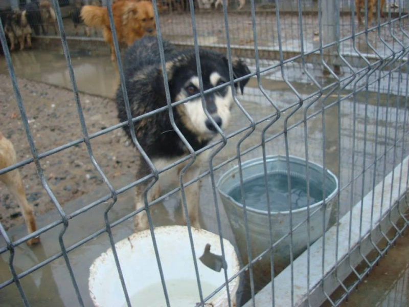 Abby x husky (f) 3/4 ans peur des hommes et des chiens ROUMANIE  10923210