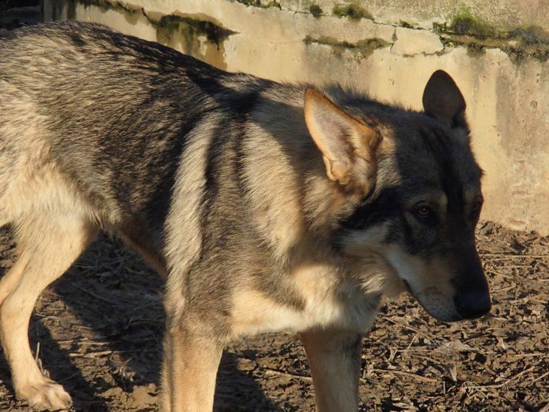 JACO type chien loup tchécoslovaque, né 22-02-2014, sociable REFU82   ADOPTER 10929110