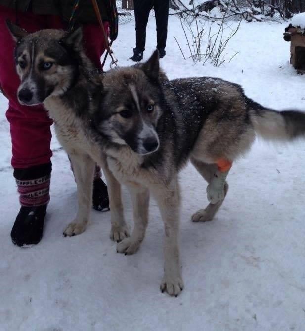 Grande urgence pour Blue et Jack qui ont besoin de votre aide en Roumanie  8 mois et 1 an   10929810