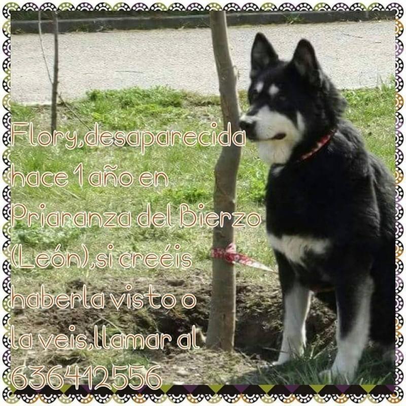 FLORI x husky (f) APAL née en 2002.CHERCHE ADOPTANT SUISSE ASSO ESPAGNE - Page 3 10959810