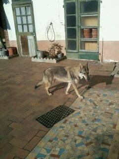 Vegas, chien- loup tchèque (f) 1 an ASSO31 ADOPTEE 13793010