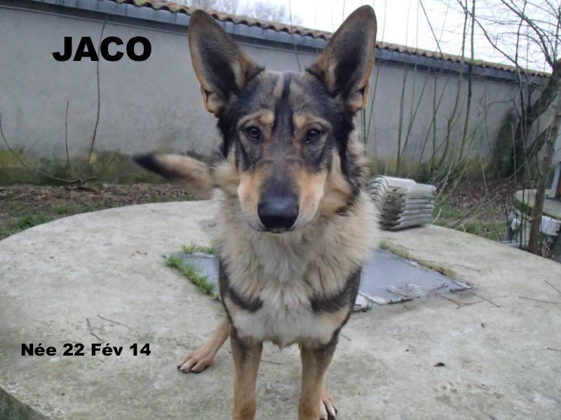 JACO type chien loup tchécoslovaque, né 22-02-2014, sociable REFU82   ADOPTER 14881510