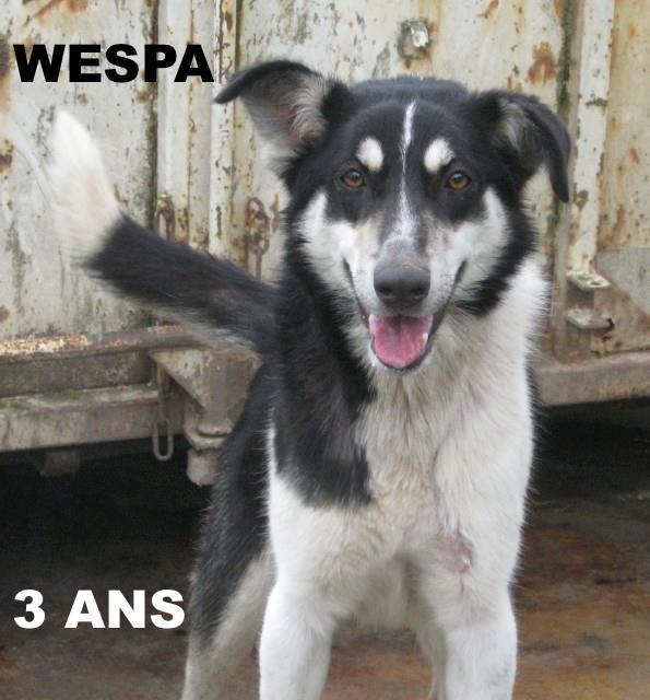 Wespa, Husky x Berger 4 ans (f) REFU82 Adopter 15460310