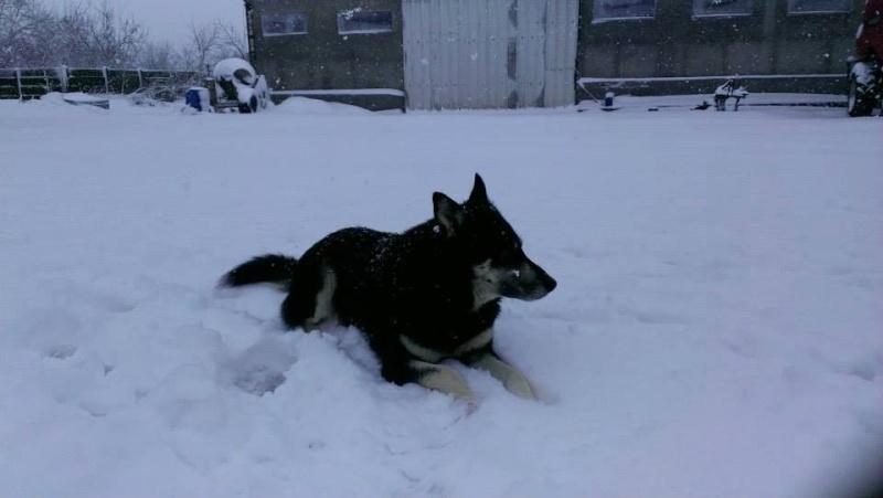 OURAL x  husky (m) 3 ans  ok congénères et chats ROUMANIE 25045810