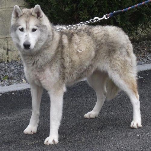 Tender love husky (f) senior gris et blanc 13/04/2002 REFU59  ADOPTEE 500_d910