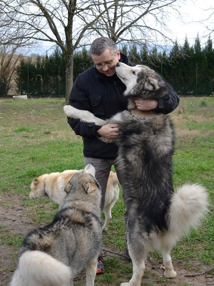 Fenix, Malamute 22/10/2010, hyper sociable pas ok chat ASSO39  ADOPTE 99503310