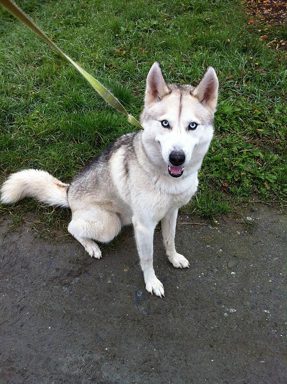 LORCA, Husky (m), né le 17.11/09 ok congénères très vif REFU Suisse ADOPTE A8acf515
