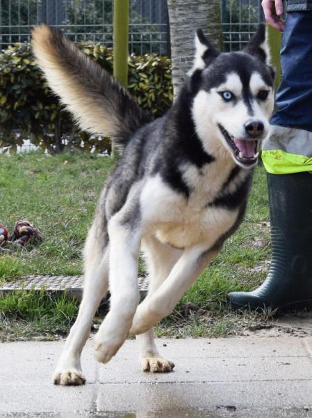 Balto, Husky (m) 04/2013 noir et blanc REFU35 ADOPTE Balto110