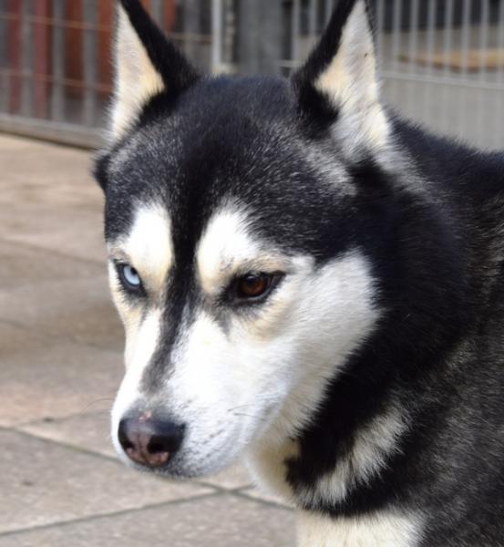 Balto, Husky (m) 04/2013 noir et blanc REFU35 ADOPTE Balto_10