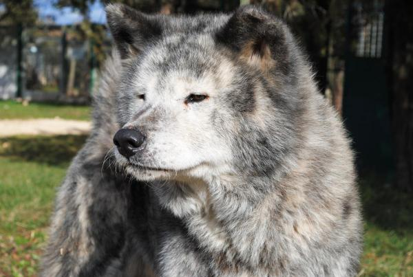 AOUKO Akita inu mâle, 03/ 2005 pas de chats asso 44 Dsc_0014