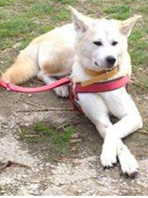 Sweetie Akita Inu rousse 4 ans (f) ASSO44 ADOPTEE Getdog10