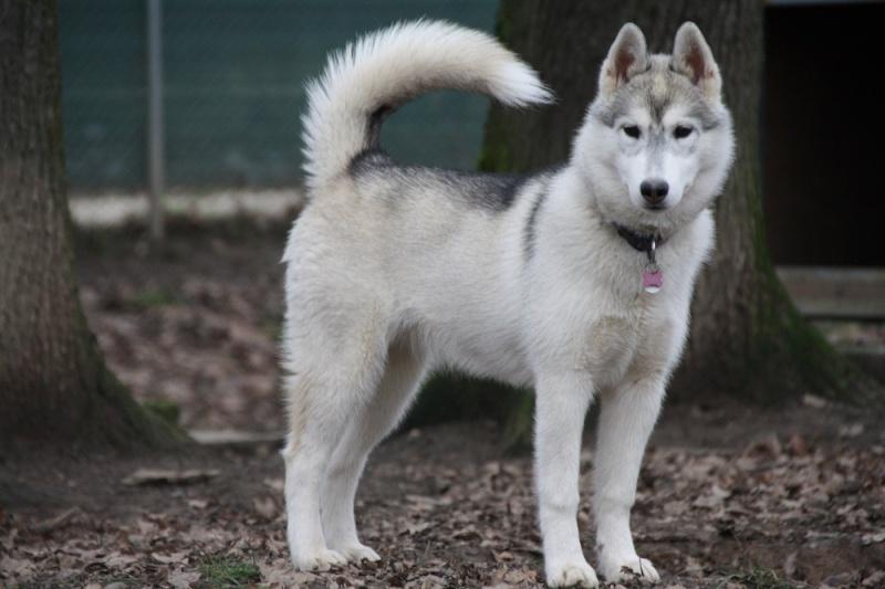 KAILA, Husky sibérien, jeune chienne Huskie née le 17.08.2014 REFU Suisse  ADOPTEE Kaila10