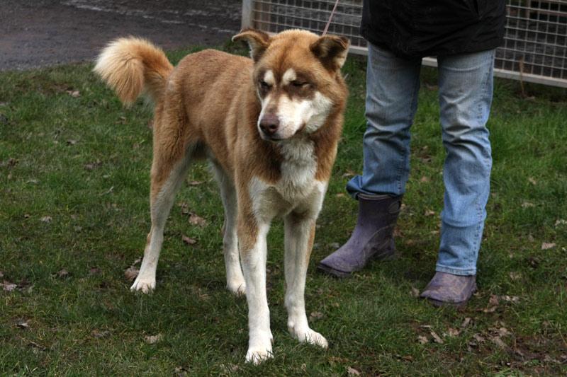 NANOOK, Husky mâle 4 ans REFU19 ADOPTER Nanook10