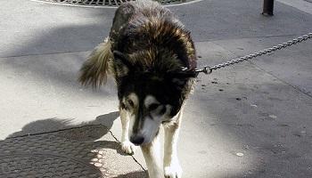 Non à la maltraitance quotidienne des chiens des SDF de Grenoble  Petiti10