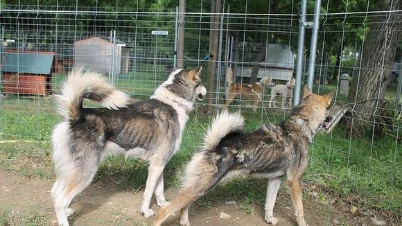 Interdire a Monsieur Nicolas Vanier de détenir des animaux compte tenu du nombre de chiens laissés pour compte en refuges, refuges qui on dû fermer suite à de nombreuses négligences  Xibroi10