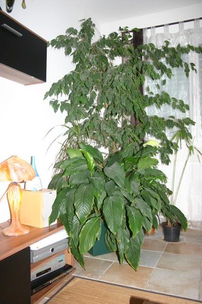 spathiphyllum Img_0023