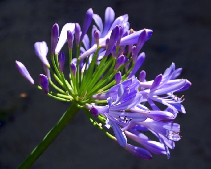 Thế giới các loài hoa Agapan10