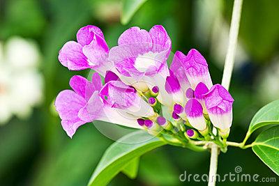 Thế giới các loài hoa Garlic10