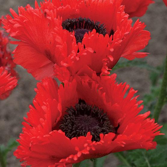 Thế giới các loài hoa Papave11