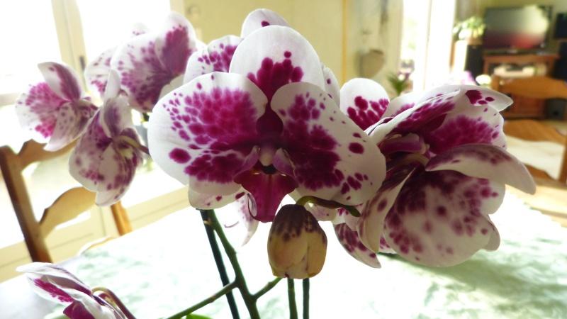 nouveau phalaenopsis P1050314