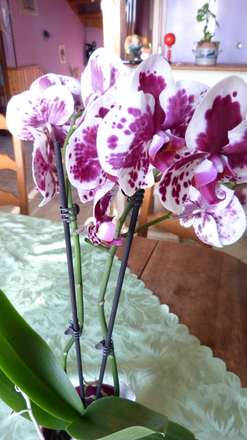 nouveau phalaenopsis P1050315