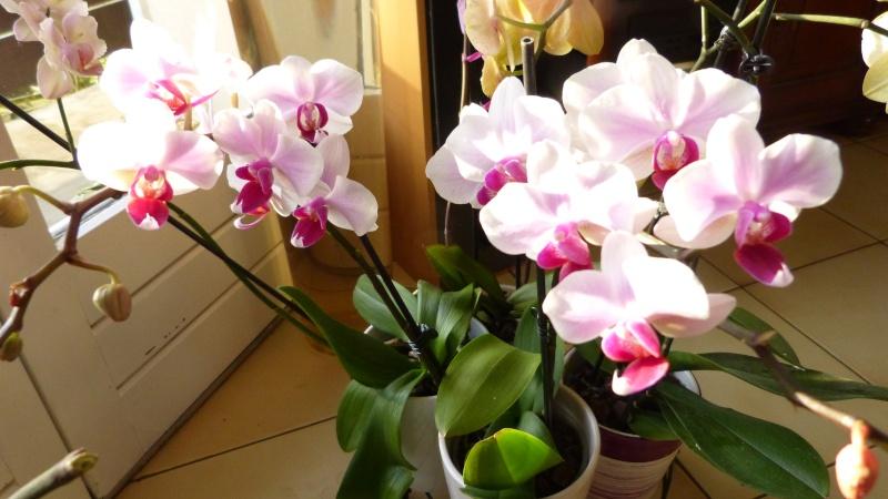 nouveau phalaenopsis P1050316
